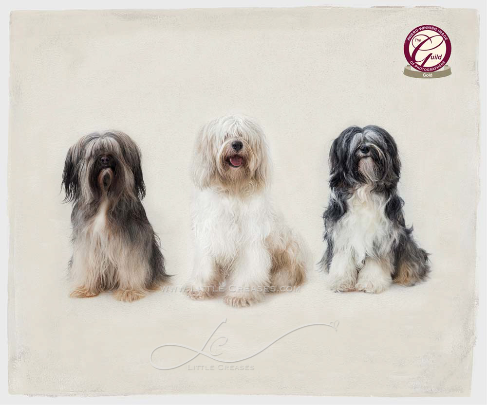 Leicester Pet Photographer,Jules Photography,,pet Portraits,Gold award,The Guild,Animal Portraits,Award winning pet portraits,Tibetan terriers,TT,Dog Portraits,award winning,