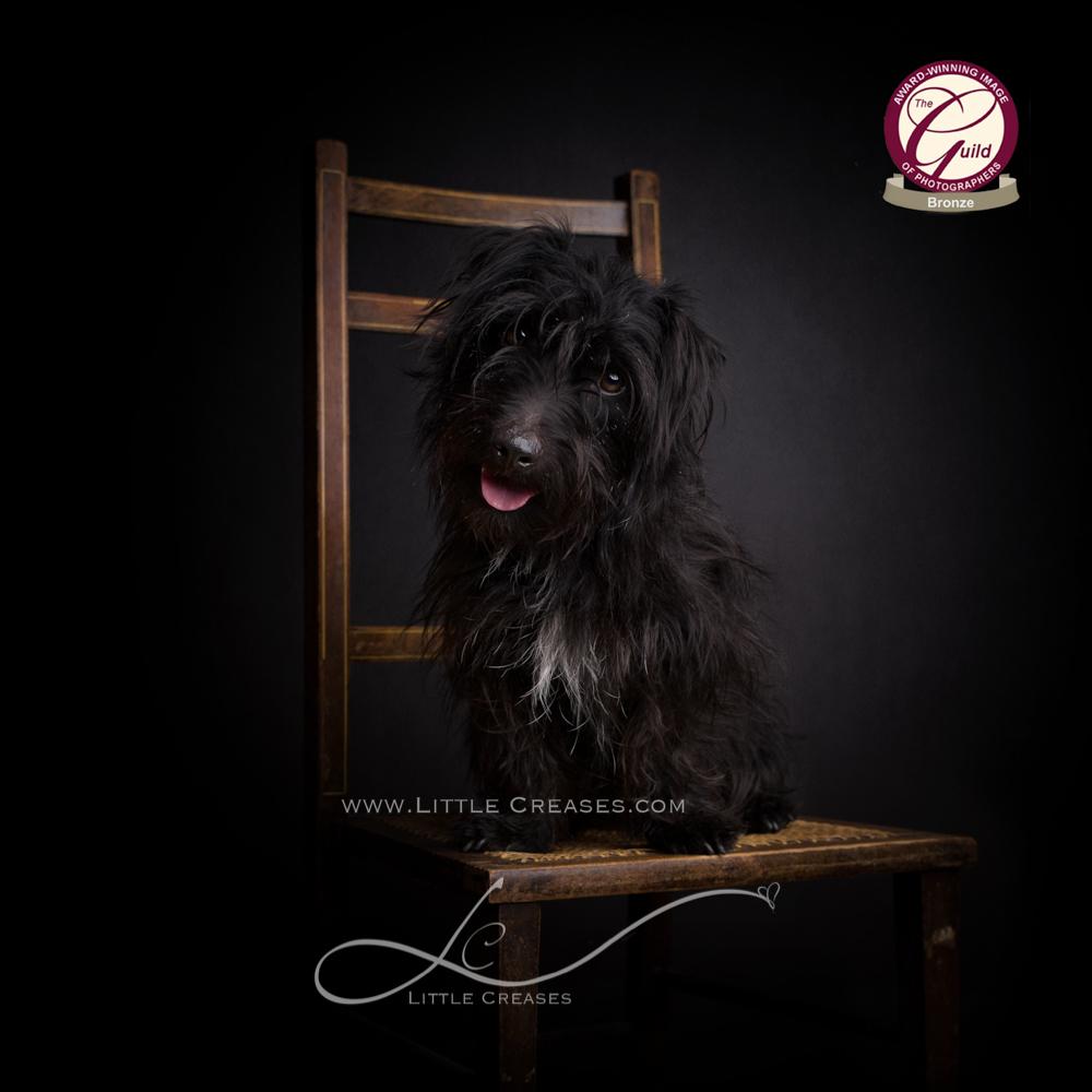 Leicester Pet Photographer,Jules Photography,,pet Portraits,Bronze award,The Guild,Animal Portraits,Award winning pet portraits,Patterdale terriers,Patterdale x,Dog Portraits,award winning,